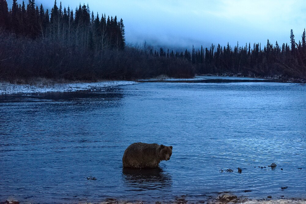 Ice Grizzly Hunting the River at Night - Yukon Territory, Canada