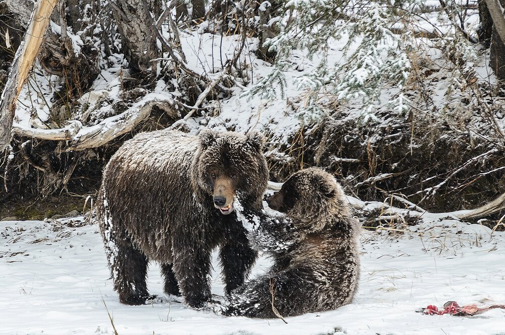 Cub Grizzly Playing With Mother
