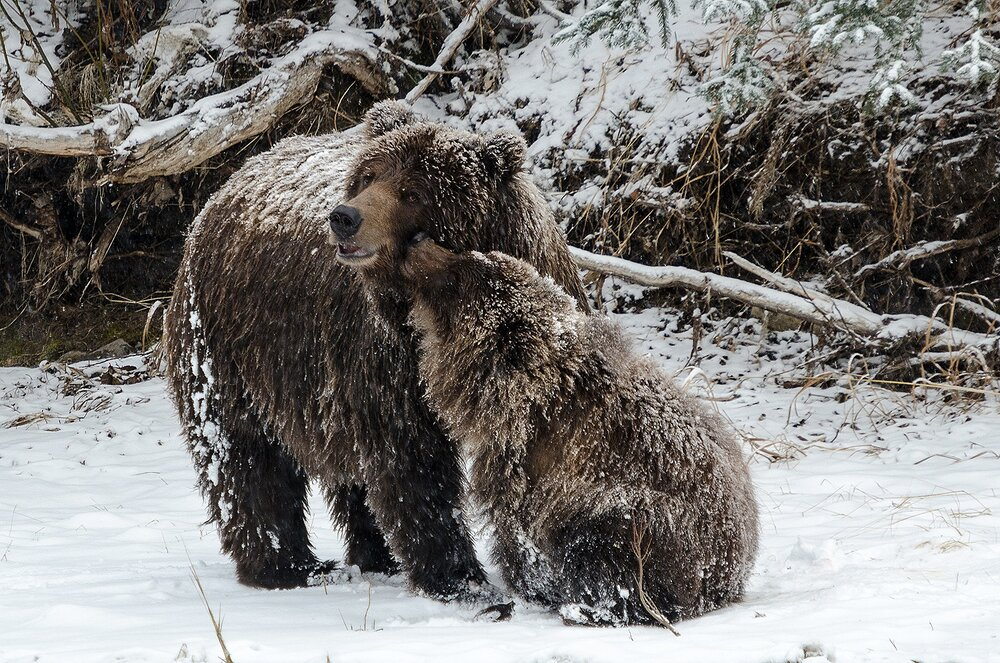 Cub Grizzly Kissing Mother - Yukon Territory, Canada