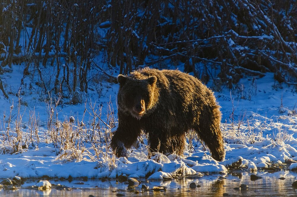 Grizzly Bear at First Light - Yukon Territory, Canada