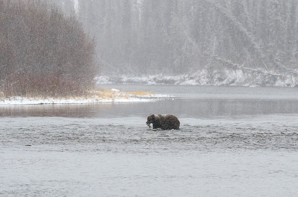 Grizzly Bear Crossing the River in a Snowstorm - Yukon Territory, Canada