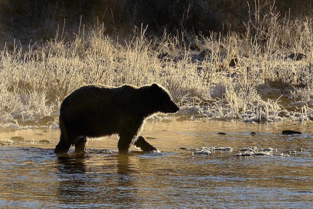 Golden Grizzly Silhouette