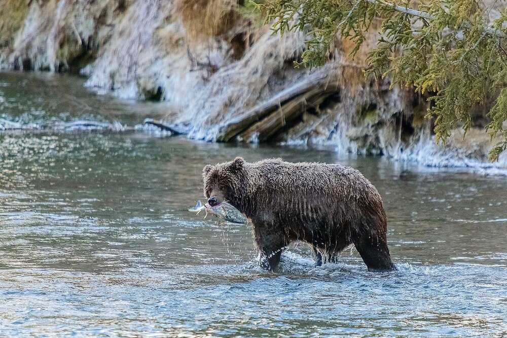Ice Grizzly With a Chum Salmon - Yukon Territory, Canada