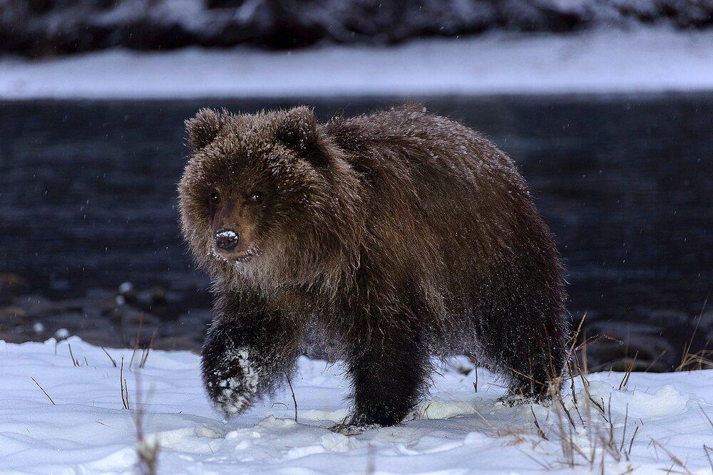Grizzly Bear Cub at Night - Yukon Territory, Canada