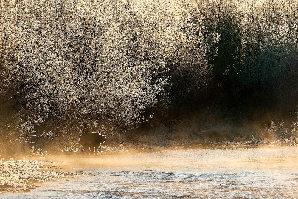 Ice Grizzly on a Sparkling Silver Morning