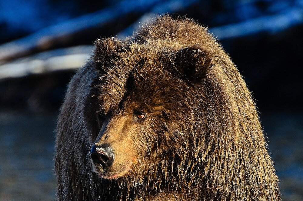 Portrait of an Ice Grizzly at First Light - Yukon Territory, Canada