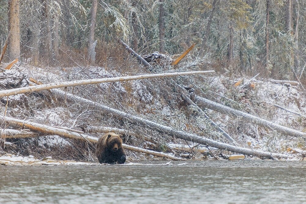 Large Male Grizzly in a Snowstorm