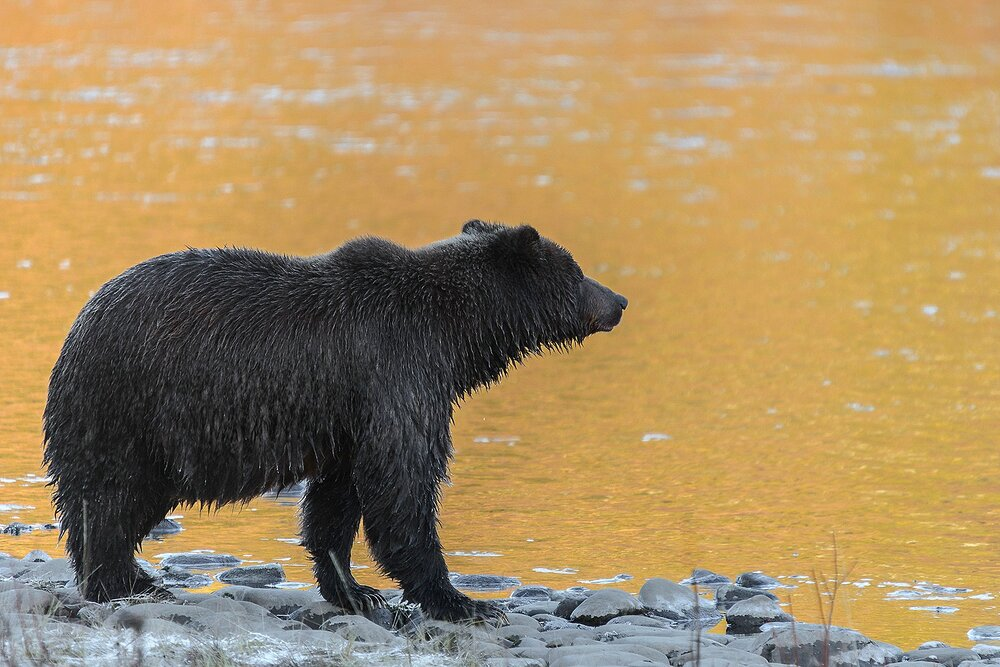 Ice Grizzly Surveying the Golden River For Salmon