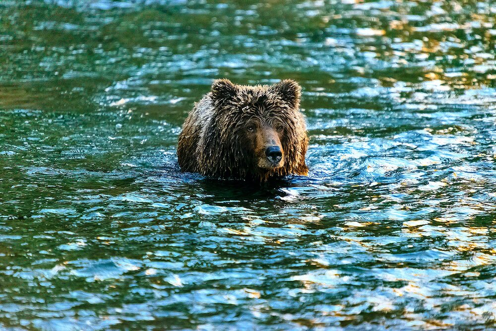 Portrait of an Ice Grizzly Neck Deep in the River - Yukon Territory, Canada