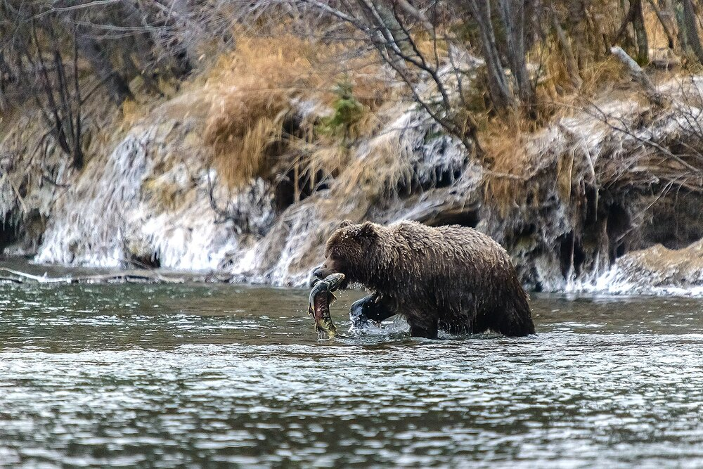 ICe Grizzly Returning With a Chum Salmon - Yukon Territory, Canada
