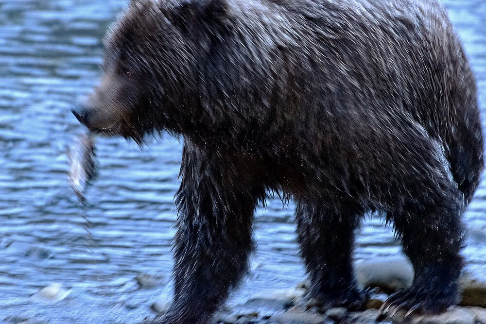 Ice Grizzly With Salmon Head 1 - Yukon Territory, Canada