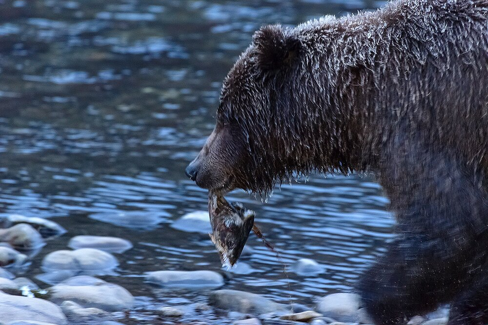 Ice Grizzly With Salmon Head 3 - Yukon Territory, Canada