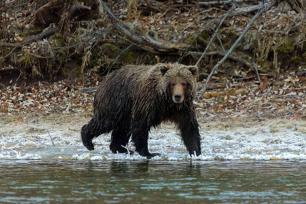 Ice Grizzly gazing Intently, Looking For Salmon - Yukon Territory, Canada