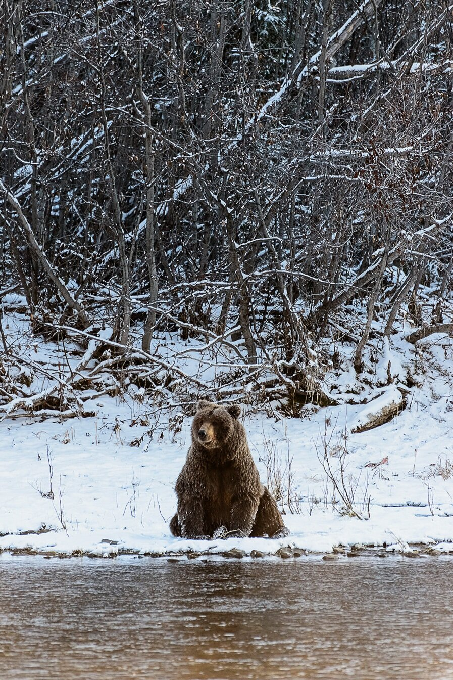 Ice Grizzly Sitting on Snowy Riverbank 1 - Yukon Territory, Canada