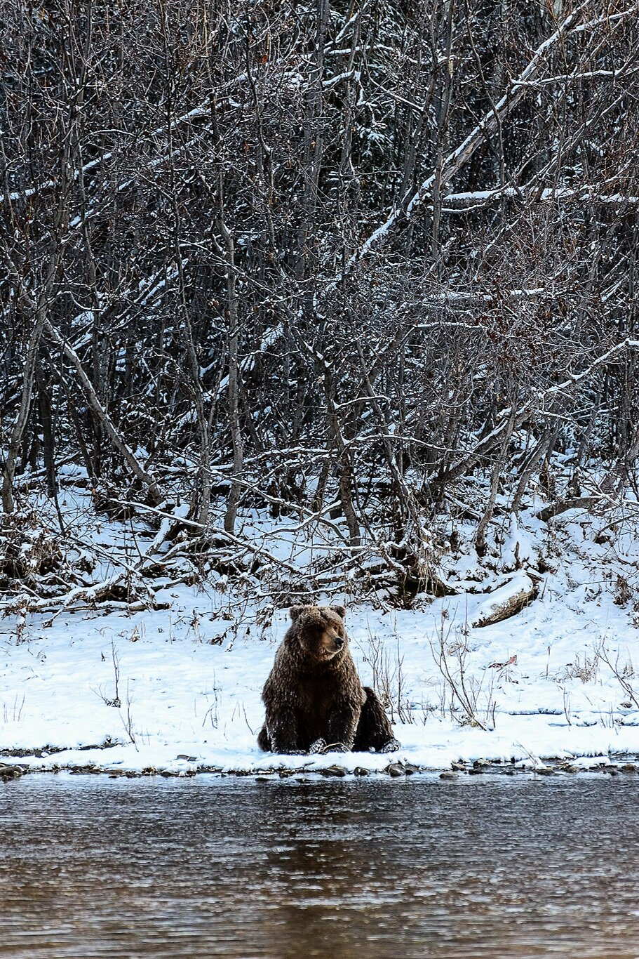 Ice Grizzly Sitting on a Snowy Riverbank 2 - Yukon Territory, Canada