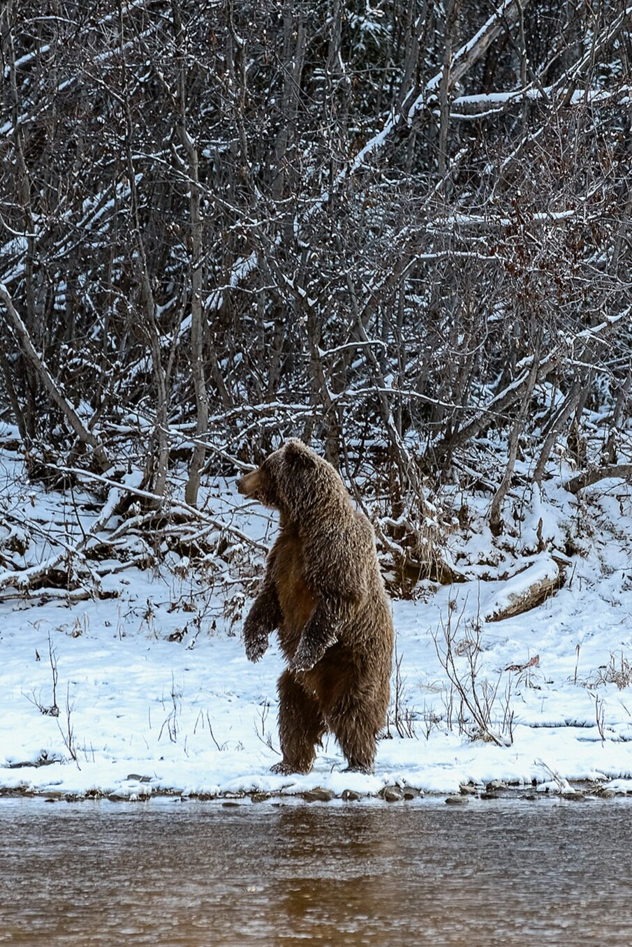 Ice Grizzly Mother Standing For a Better Look - Yukon Territory, Canada