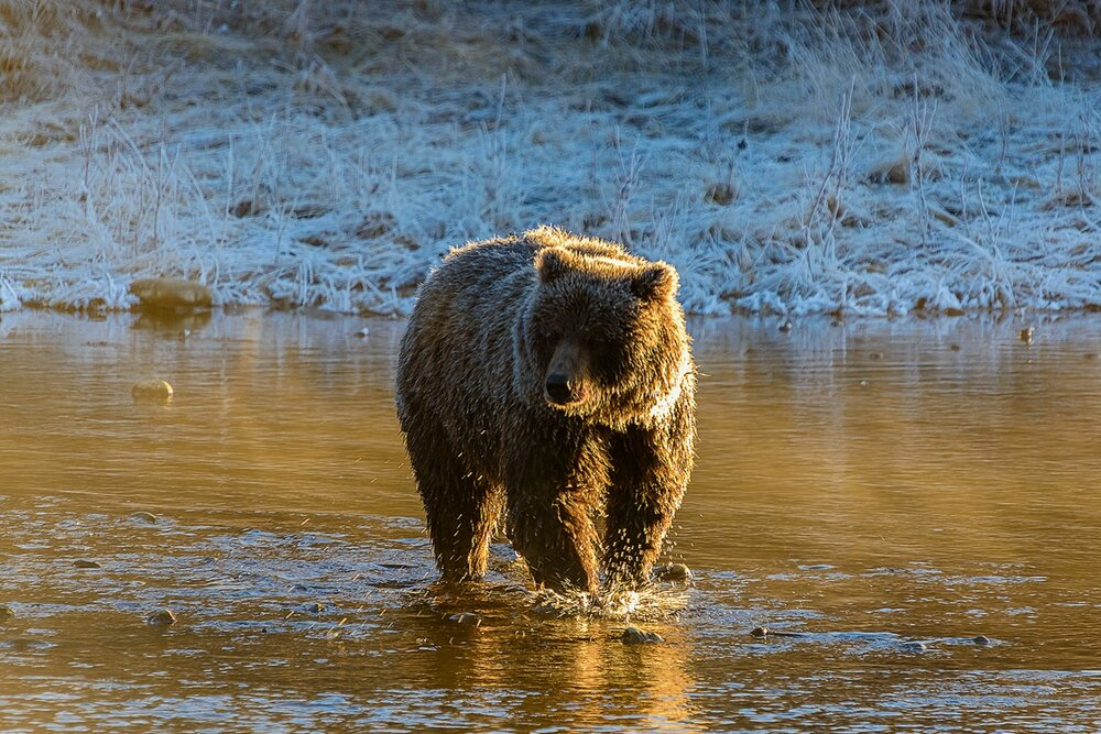 A Golden Ice Grizzly Fishing on a Bright Early Winter's Morning