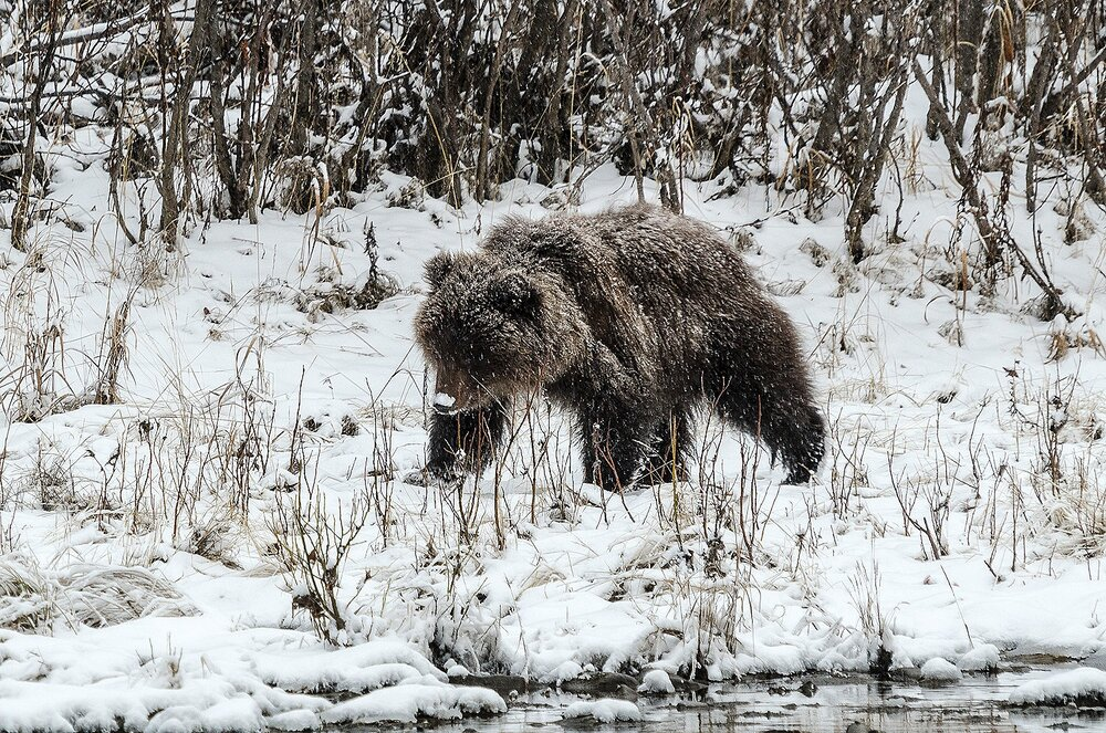 Grizzly Bear Cub Walking on a Snowy Riverbank