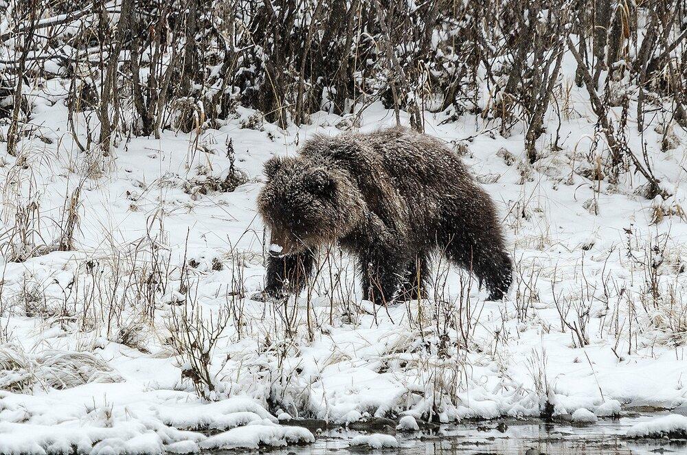 Grizzly Bear Cub Walking on a Snowy Riverbank - Yukon Territory, Canada