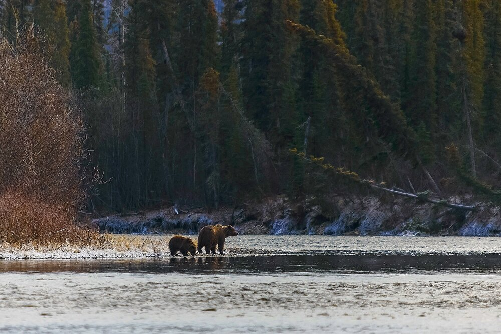 Mother and Cub Grizzlies at the Bend in the River - Yukon Territory, Canada