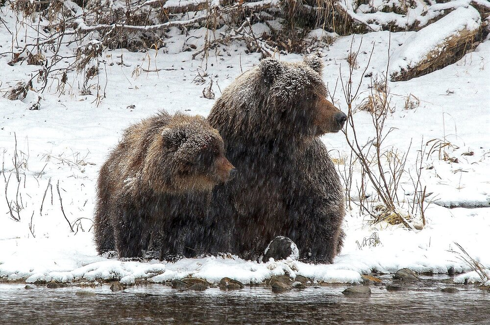 Mother and Cub Grizzly Bears Looking Downstream