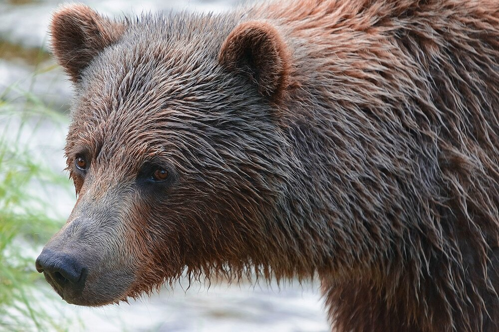 Taku River Grizzly Surveys the River For Salmon - 14 - British Columbia, Canada.jpg