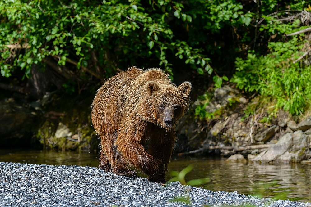 Taku River Grizzly Approaching on Gravel Bar - British Columbia, Canada.jpg