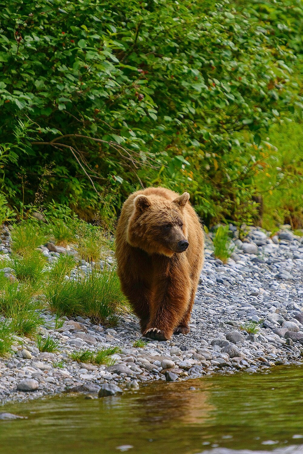 Taku River Grizzly Surveys the River For Salmon - 6 - British Columbia, Canada.jpg