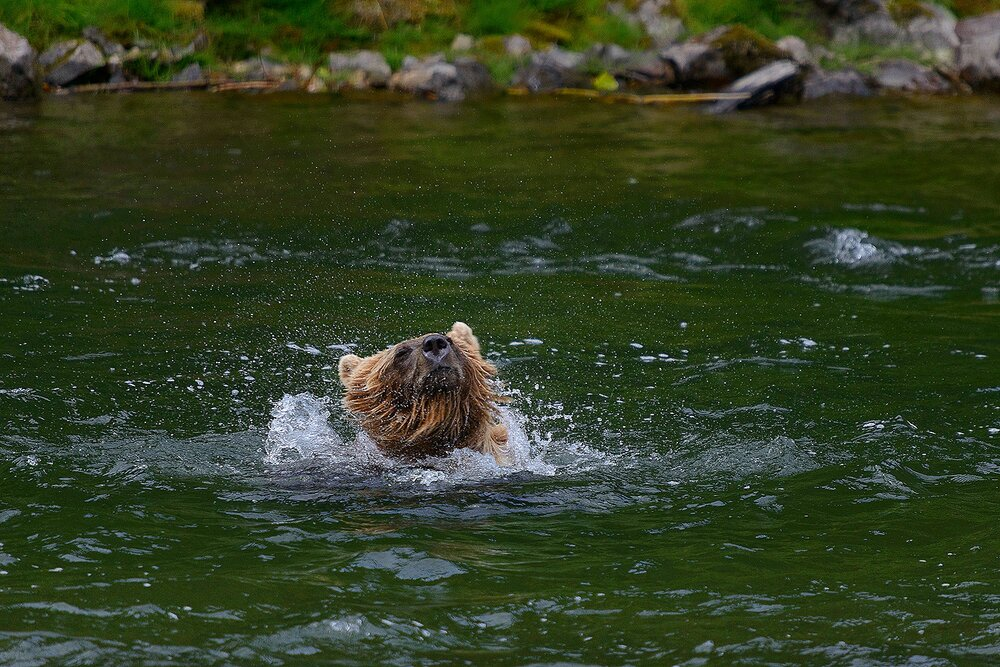 Taku River Grizzly Shaking Head in River - British Columbia, Canada.jpg