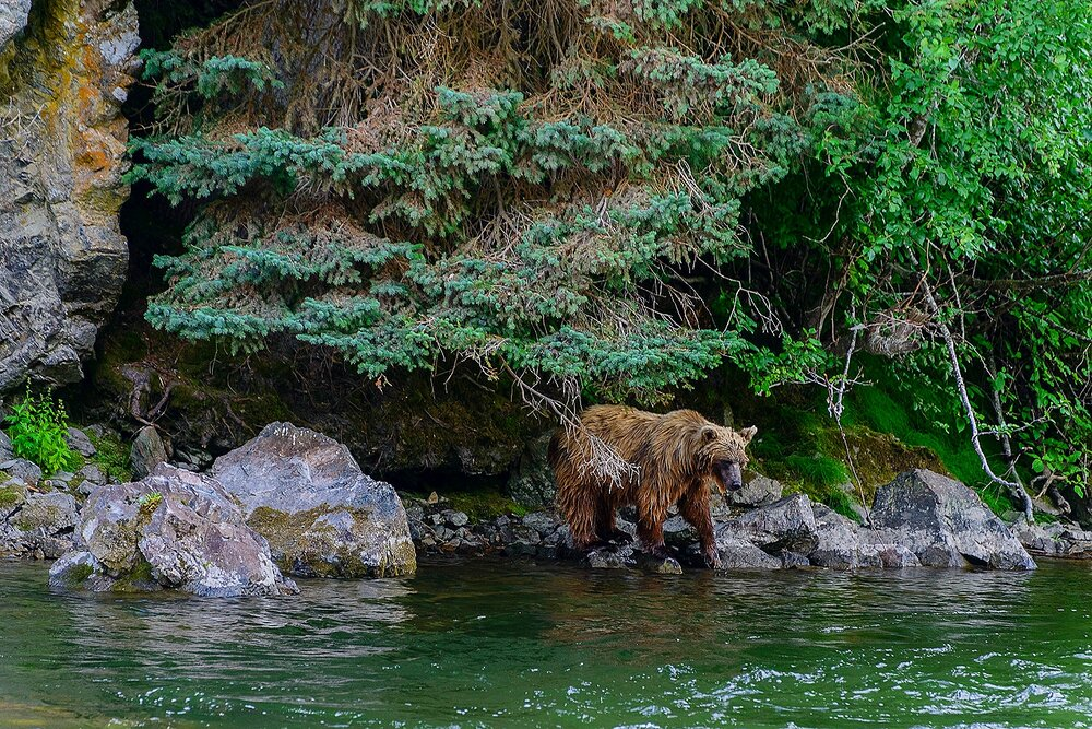 Taku River Grizzly Peering into the River - British Columbia, Canada.jpg