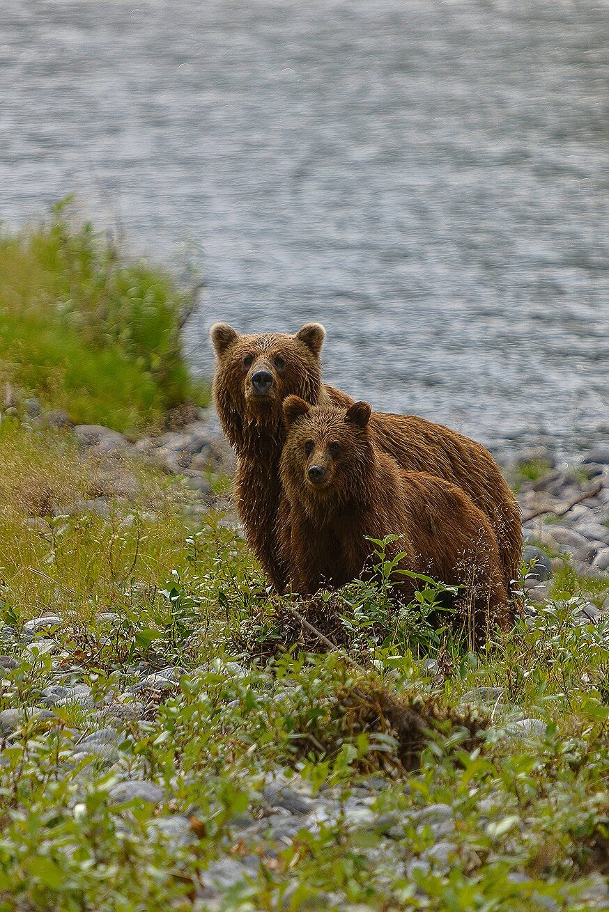 Taku River Grizzly Mother and Cub Portrait - British Columbia, Canada.jpg