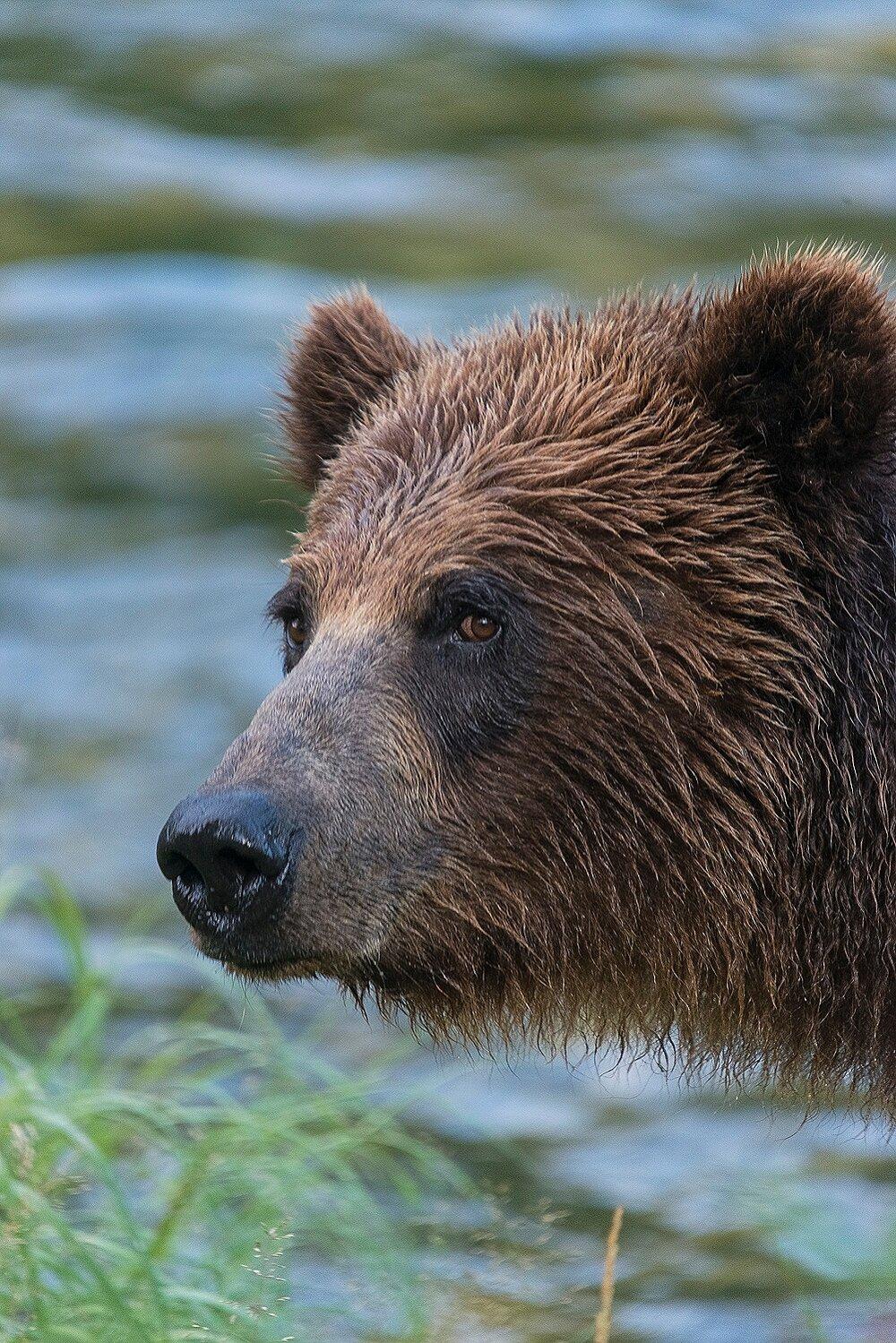 Taku River Grizzly Portrait - British Columbia, Canada.jpg