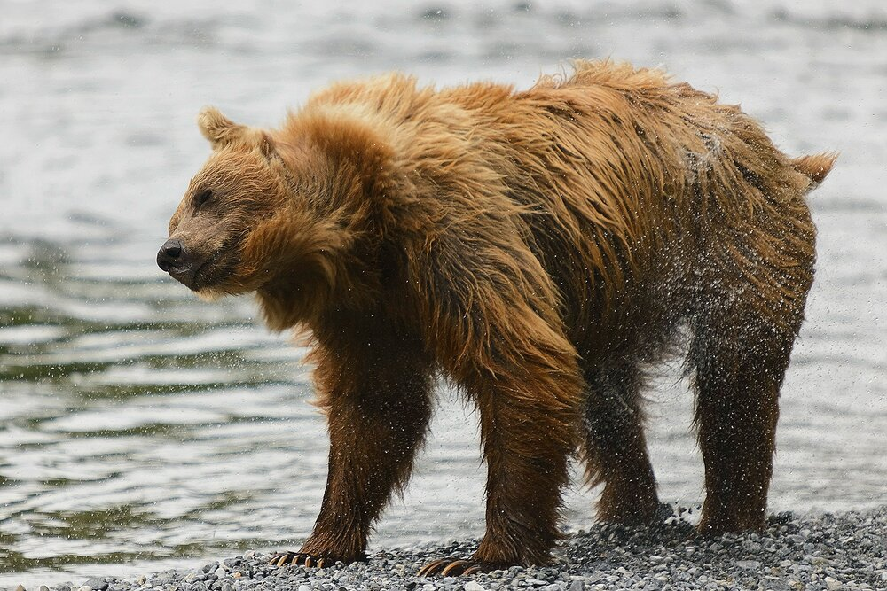 Taku River Grizzly Shaking - British Columbia, Canada.jpg