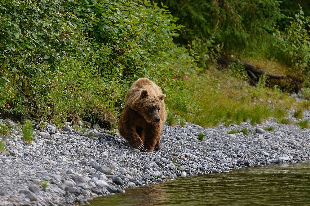 Taku River Grizzly Surveys the River For Salmon - 5 - British Columbia, Canada.jpg