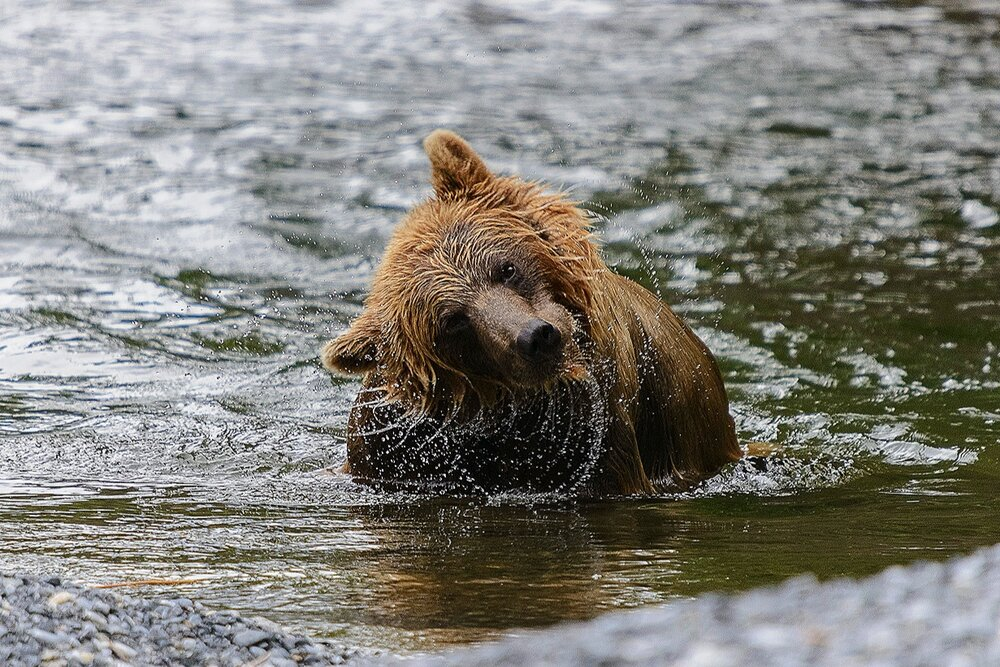 Taku River Grizzly Shaking Head - British Columbia, Canada.jpg