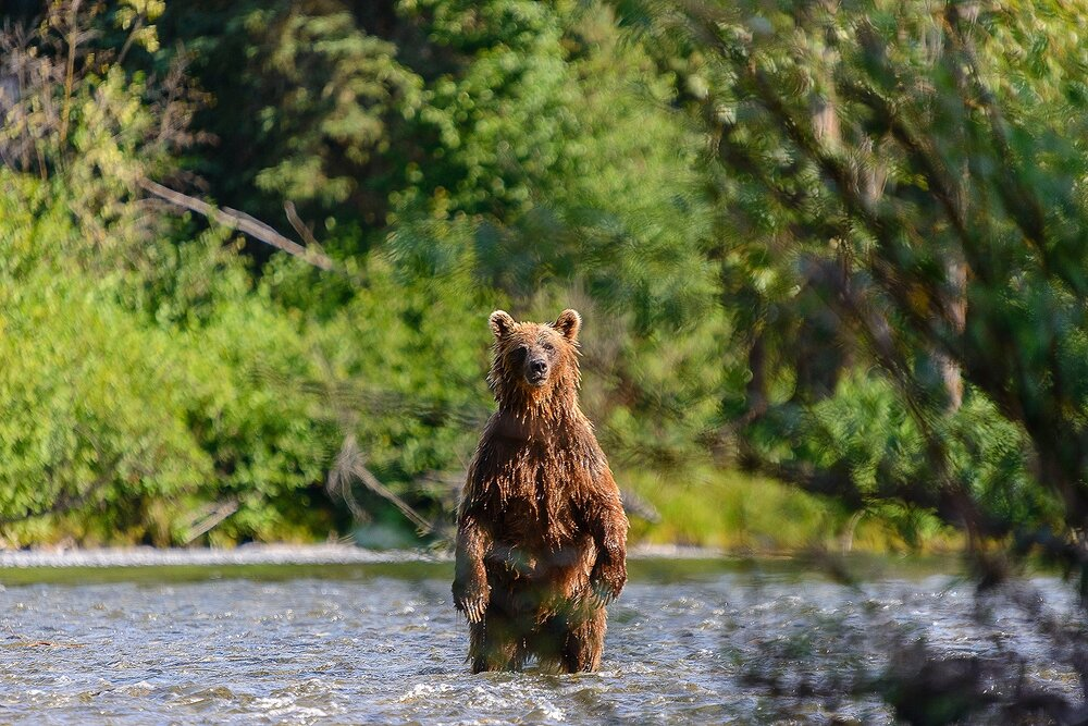 Taku River Grizzly Standing in the River - British Columbia, Canada.jpg