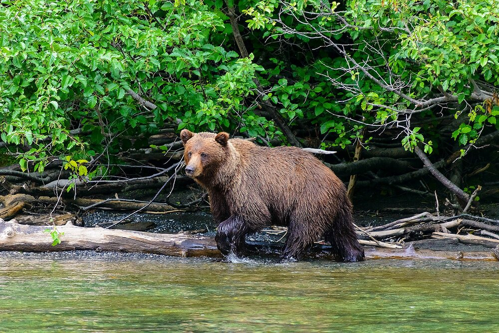 Taku River Grizzly Surveys the River For Salmon - 3 - British Columbia, Canada.jpg