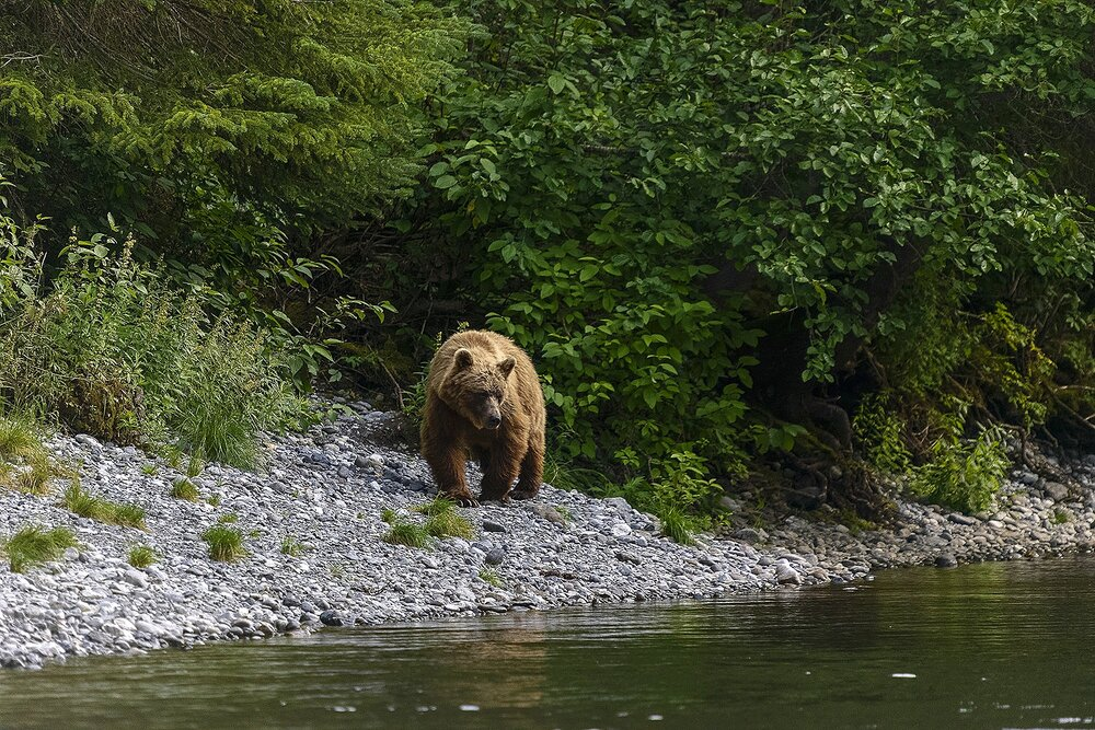 Taku River Grizzly Surveys the River For Salmon - 4 - British Columbia, Canada.jpg
