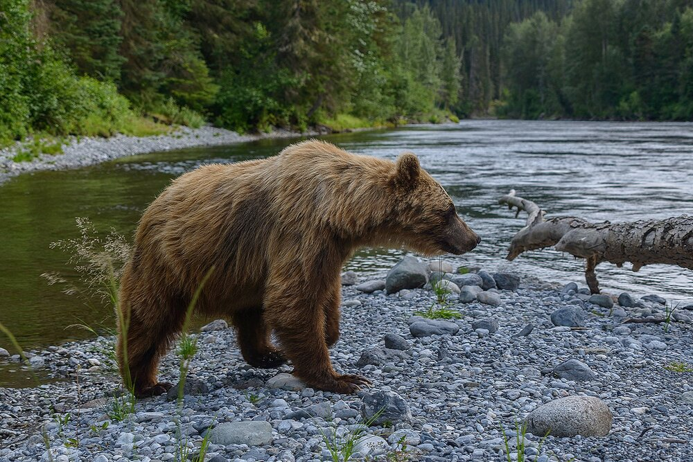 Taku River Grizzly Surveys the River For Salmon - 9 - British Columbia, Canada.jpg