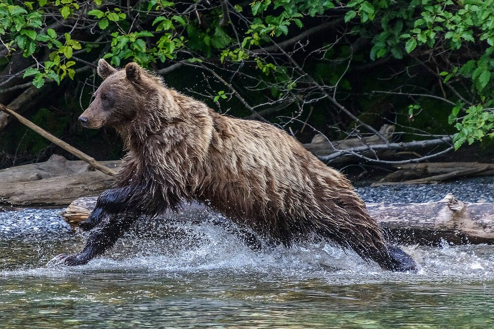 Taku River Grizzly Surveys the River For Salmon - 11 - British Columbia, Canada.jpg