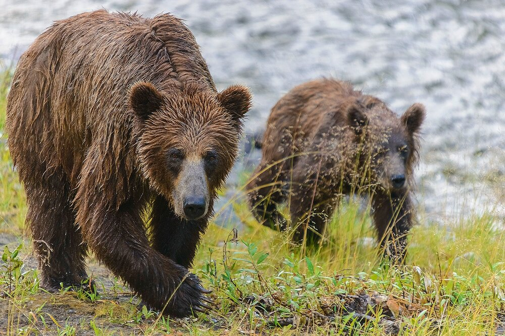 Taku River Grizzly Mother and Cub Up Close - British Columbia, Canada.jpg