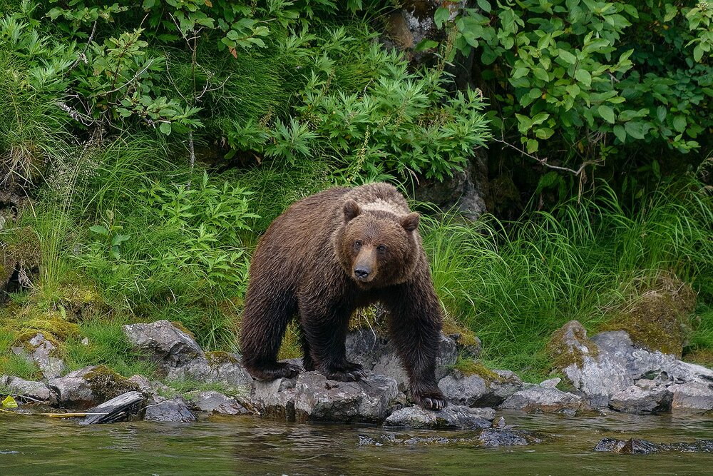 Taku River Grizzly Surveys the River For Salmon - British Columbia, Canada.jpg