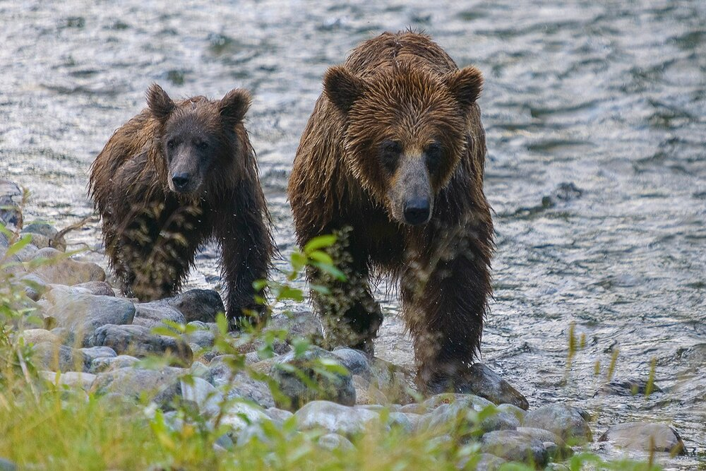 Taku River Mother and Cub Grizzlies Approaching - British Columbia, Canada.jpg