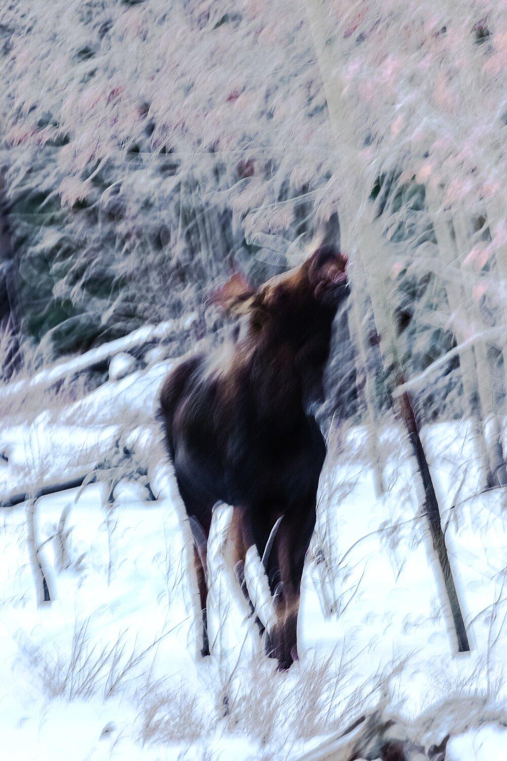 Browsing Moose - Yukon Territory, Canada