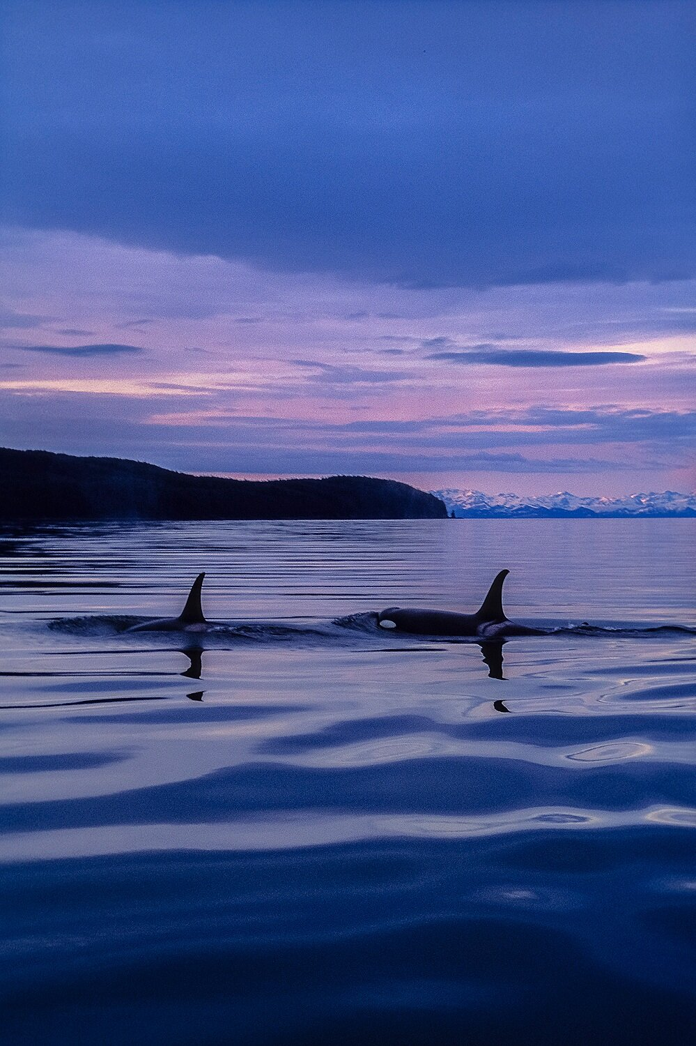Killer Whales at Evening - Alaska