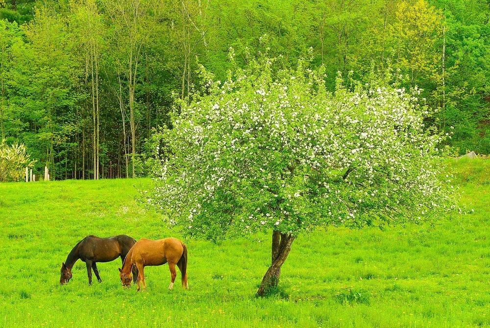 Springtime Horses - New Hampshire