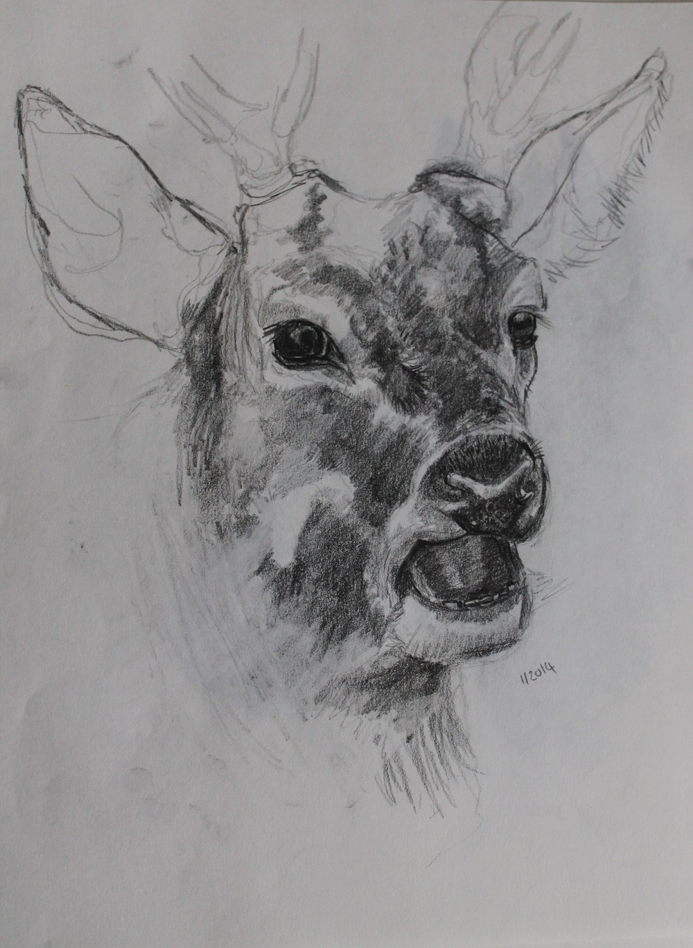 2014, 4B pencil drawing of a stag, just over an hour to finish