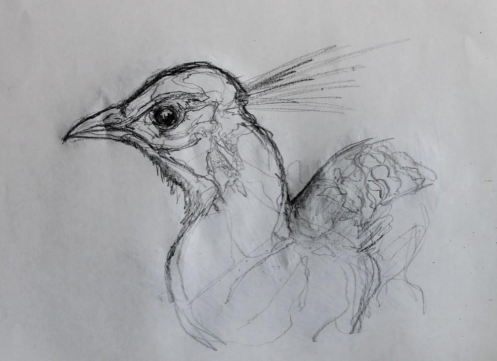 peacock6.jpg
