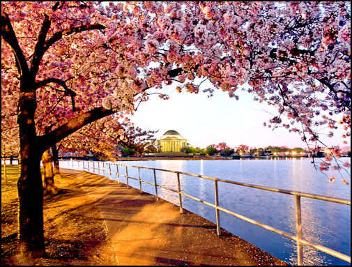 Cherry Blossoms, Tidal Basin, Wash, DC