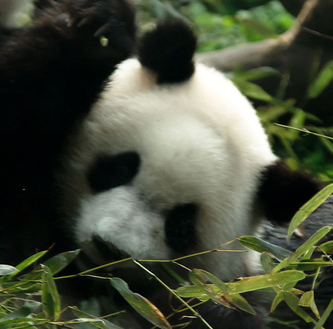 China_PandaCub3.jpg